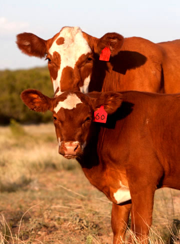 Beef Cattle - Hudson Livestock Product Line